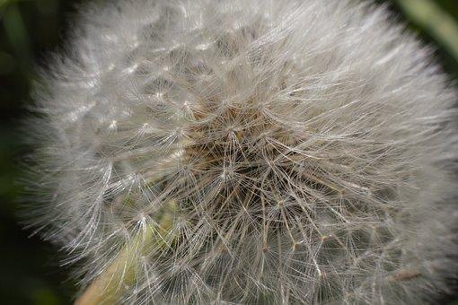 Dandelion, Flower, Grass, Macro, White, Closeup