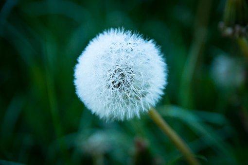 Dandelion, Meadow, Nature, Flower, Plant, Close Up