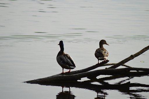 Duck, Water, Pond, Nature, Plumage, Bird, Ducks, Lake