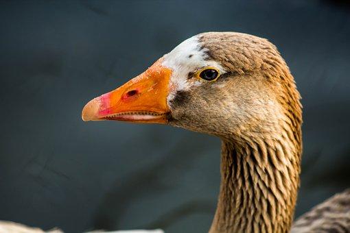 Duck, Bird, Animal, Nature, Plumage, Swim, Beautiful