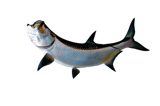 Tarpon Fish, Game Fish, Sport Fishing, Fishing, Sea