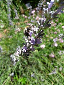 Hummel, Lavender, Flower, Close Up, Summer, Spring