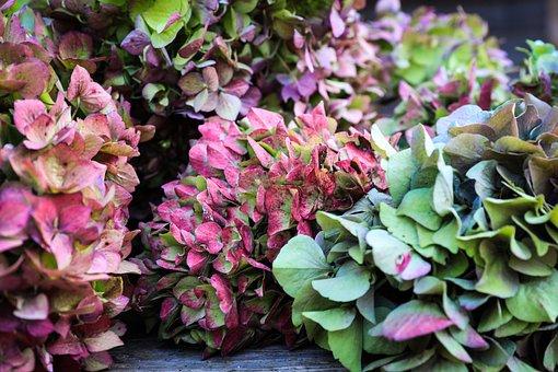 Hydrangea, Autumn, Fall Flowers, Flower Garden, Plant