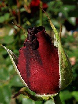 Bud, Rose, Flower, Roses, Bloom, Garden, Pink, Summer