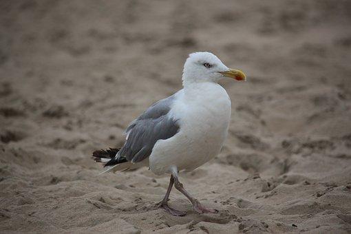 Gull, Goes, Sand, Beach, Sea, Creature, White, Focus