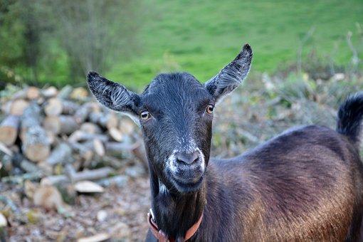 Goat, Goat Nemo, Goat Herbivore, Goat Clipper Green