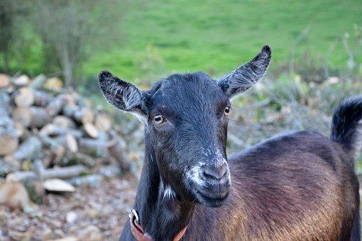 Goat, Goat Nemo, Herbivore, Clipper Green, Bushman