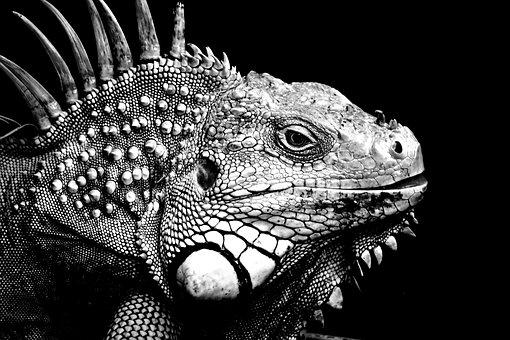 Iguanas, Background, Black And White, Animal, Reptile