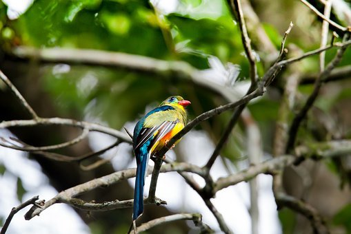 Wild Birds, Colorful, Rainforest, Javan Trogon