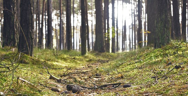 Forest, Wood, Nature, Landscape, Trees, Pines