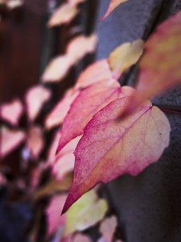 Autumn, Leaf, Red Leaves, Wall, Season, Plant