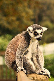Ring Tailed Lemur, Madagascar, Monkey, Adorable