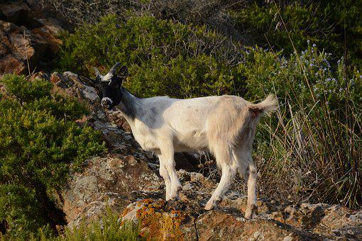Animal, Wild, Mammal, Horns, Mouflon, Elba Island