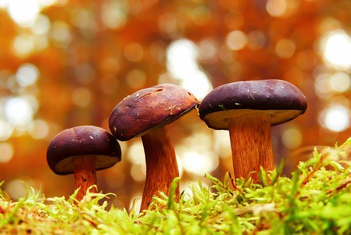 Podgrzybki, Mushrooms, Family, Bokeh, Moss, Autumn