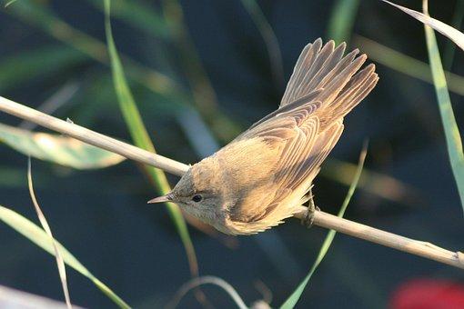 Birds, Nature, Animals, Acrocephalus Scirpaceus