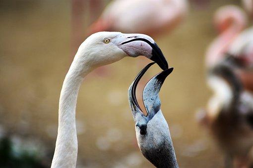 Flamingo, Animal, Bird, Nature, Available, Beak, Zoo