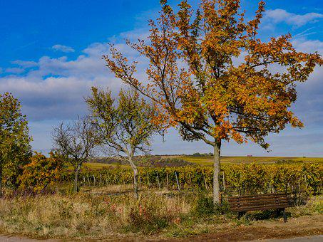 Autumn, Vineyards, Landscape, Deciduous Tree, Nature