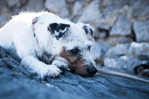 Dog, Terrier, Parson Russell Terrier, Pet, Animal, Race