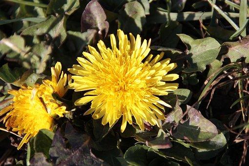 Dandelion, Plant, Nature, Flower, Blossom, Bloom, Macro