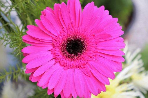 Purple Gerber, Flower, Plant, Blooming, Colorful