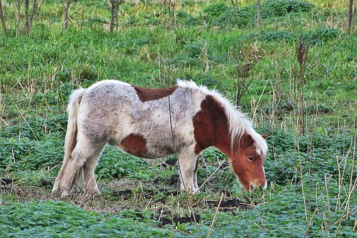 Pony, Horse, Browser, Nature, Animal, Cute, Animals