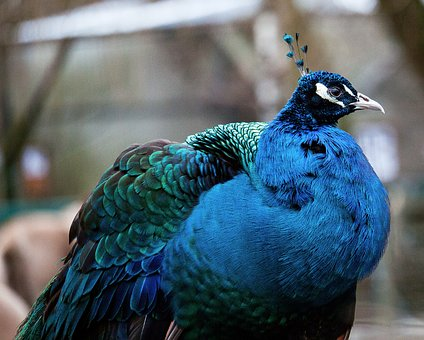 Peacock, Bird, Animal, Animal World, Poultry, Color