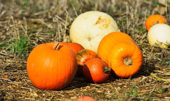 Pumpkin, Agriculture, Autumn, Crop, Decoration, Fall