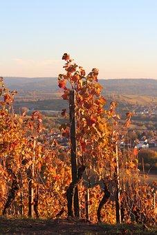 Vineyard, Rebstock, Color, Colorful, Autumn, Landscape