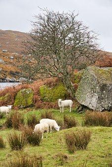 Ireland, Sheep, Landscape, Agriculture, Pasture, Rural
