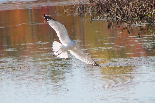 Gull, Seagull, Lake, Pond, Nature, Bird, Flight, Wings