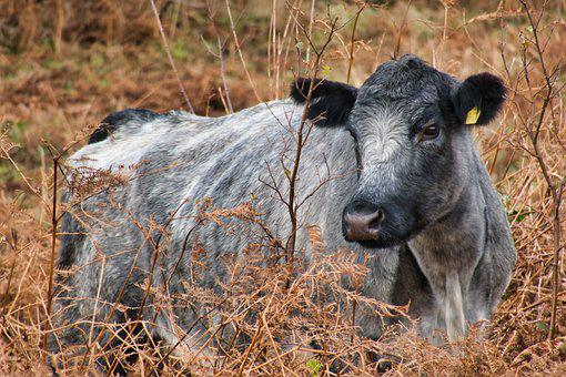 Cow, Cow Head, Pasture, Cattle, Ruminant, Silver