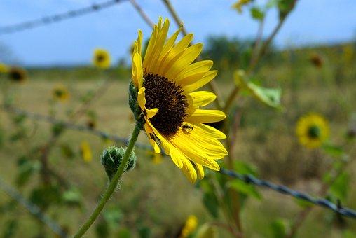 Texas Panhandle Sunflower, Sunflower, Flower, Yellow