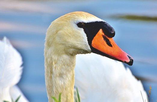 Swan, Gooseneck, Water Bird, Bird, Pride, White, Head