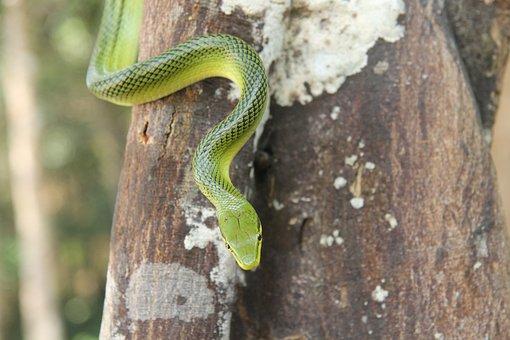 Green Tree Snake, Thailand, Snake, Asia, Nature