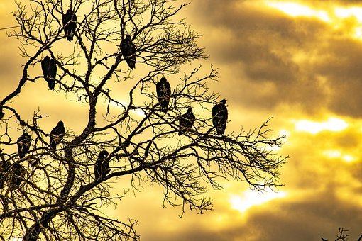 Buzzards, Sunrise, Dead Tree, Tree, Roost, Birds, Flock