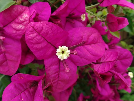 Flower, Tropical, Bouganvillea, Blimber, Garden, Nature