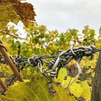 Vineyard, Grapevine, Winegrowing, Agriculture, Wine