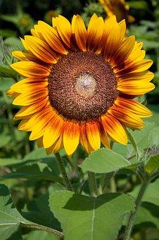 Sunflower, Bouquet, Flowers, Flower, Flora, Yellow