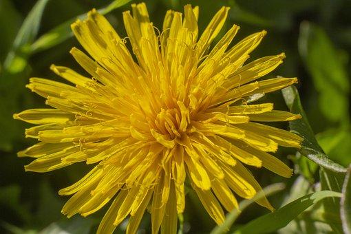 Dandelion, Flower, Grass, Macro, Yellow, Closeup