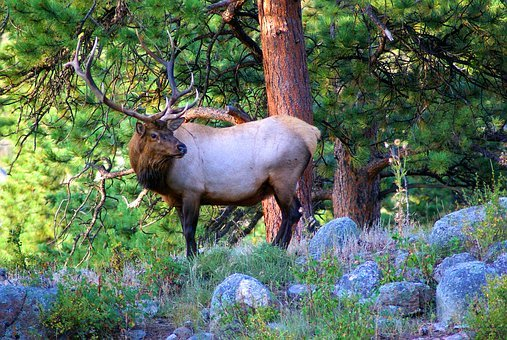 Young Bull Elk, Elk, Stag, Wapiti, Rocky, Mountain