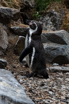 Penguin, Animal, Frack, Nature, Black And White, Bird