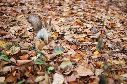 Squirrel, Autumn, Foliage, Rodent, Animals, Nature