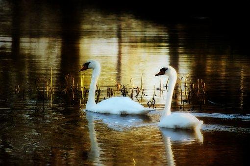 Swans, Pair, Water, Bird, Nature, Lake, Water Bird