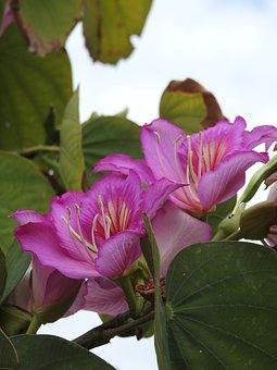 Bauhinia, Plant, Flowers, Nature, Blooming, Pink