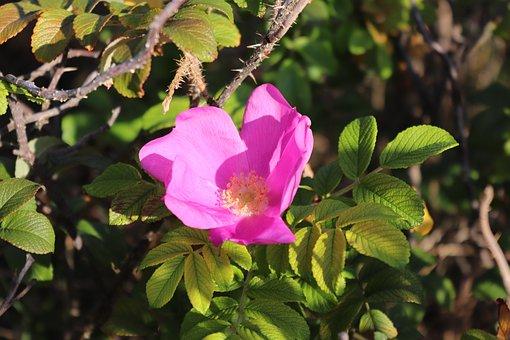 Blossom, Bloom, Nature, Hibiscus, Plant, Close Up