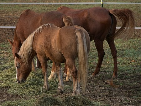 Horses, Pony, Coupling, Brown, Mane, Close Up