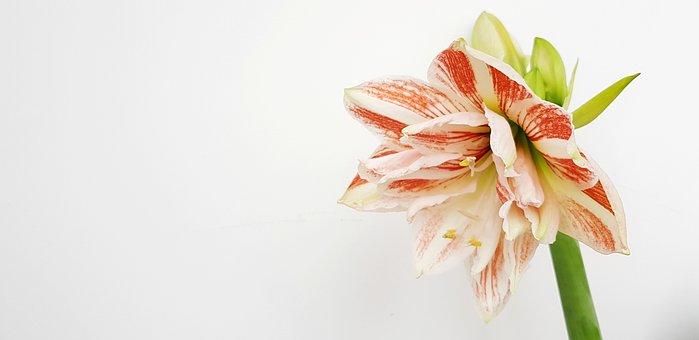 Hippeastrum, Flower, Bloom, Plant, Bulbous, Indoor, Bud