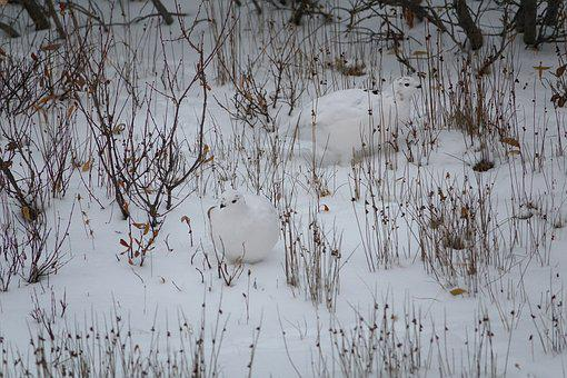 Ptarmigan, Birds, Arctic, Snow, Camouflage