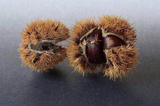 Chestnuts, Sweet Chestnuts, Chestnut, Prickly