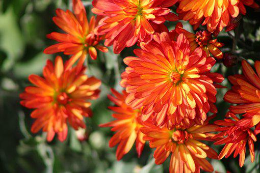 Orange Flowers, Chrysanthemums, Chrysanthemum, Bloom
